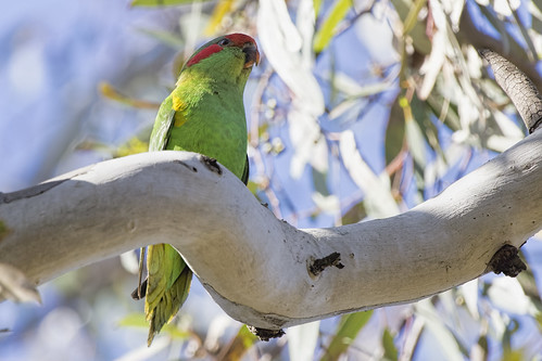 Musk Lorikeet 2015-09-20 (_MG_5622)
