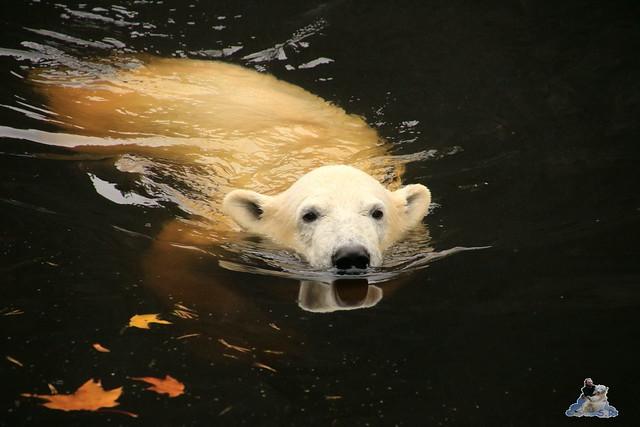Eisbär Fiete im Zoo Rostock 17.10.2015  04