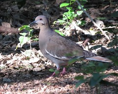 White-winged Dove/ RGVBF/ Nov 4 thru 8 2015