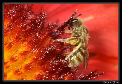 Halictus (Seladonia) sp.