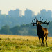 The Urban Stag by georgeplakides
