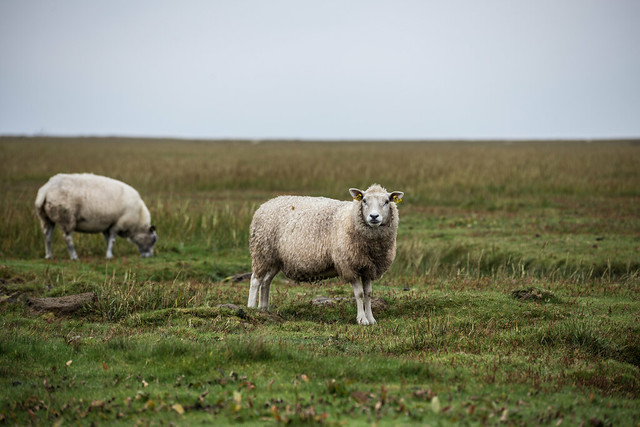 Mandø Sheep