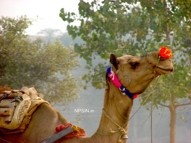 Animal Fair: Camel Fair: Happy to be part of this fair