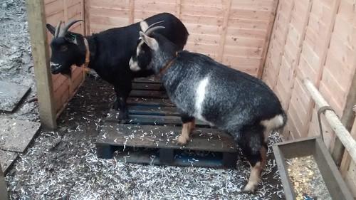 goats Dec 15 (3)