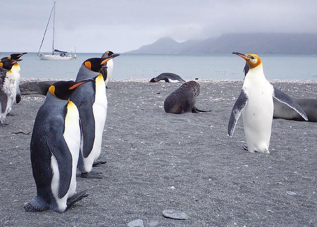 Albino-king-penguin