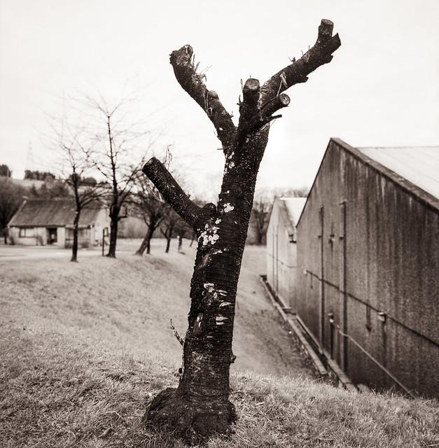 Tree near Pittyvaich Distillery
