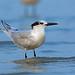 Cabot's Tern, Bahia la Ventosa, Oaxaca, Mexico por Terathopius