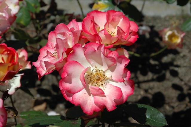 rose 39 betty boop 39 flickr photo sharing. Black Bedroom Furniture Sets. Home Design Ideas