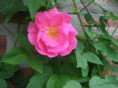 floribunda(0.0), annual plant(1.0), shrub(1.0), garden roses(1.0), rosa 㗠centifolia(1.0), flower(1.0), rosa gallica(1.0), plant(1.0), rosa rubiginosa(1.0), rosa acicularis(1.0), rosa rugosa(1.0), petal(1.0),