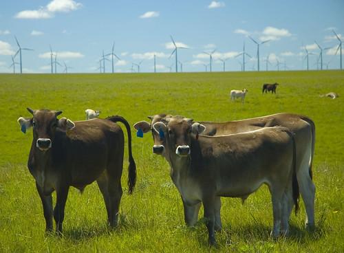 windmill cow power turbine windturbine windfarm scoreme scoreme40