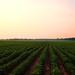 soybean fields by -Teddy