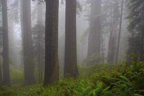 park trees fog forest day national redwood redwoods kartpostal