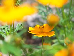 eschscholzia californica(0.0), close-up(0.0), poppy(0.0), flower(1.0), yellow(1.0), plant(1.0), nature(1.0), macro photography(1.0), wildflower(1.0), flora(1.0), sulfur cosmos(1.0), petal(1.0),