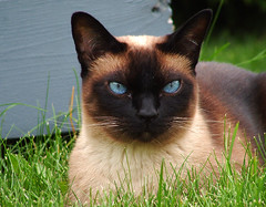black cat(0.0), animal(1.0), siamese(1.0), small to medium-sized cats(1.0), pet(1.0), snout(1.0), european shorthair(1.0), snowshoe(1.0), fauna(1.0), thai(1.0), tonkinese(1.0), cat(1.0), burmese(1.0), carnivoran(1.0), whiskers(1.0), balinese(1.0), birman(1.0), domestic short-haired cat(1.0),