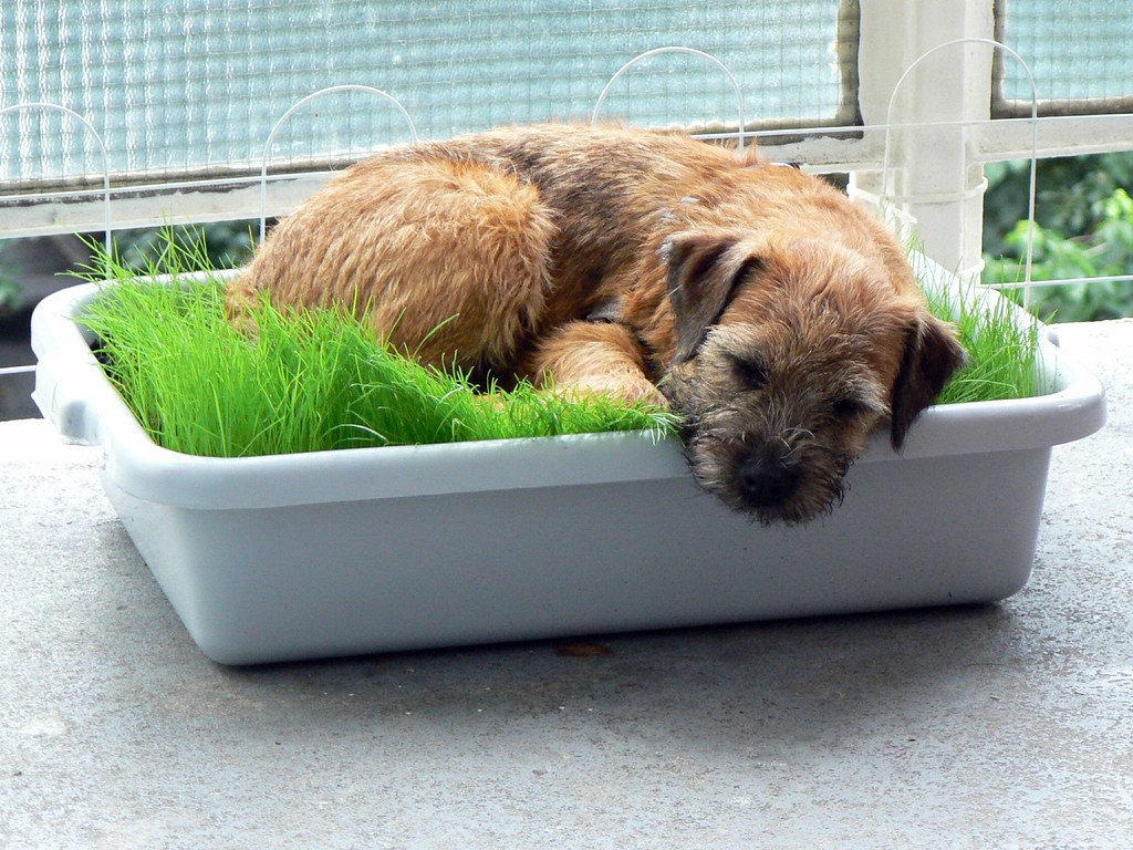 Ollie on his new grass bed