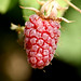 Small photo of loganberry