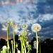 dandelion uncut