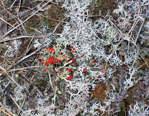 Cladonia cristatella, British soldier lichen