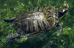 animal, turtle, box turtle, reptile, marine biology, fauna, emydidae, wildlife,