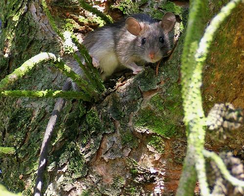 animal rodent backyard rat animalplanet kentwa animaladdiction shesnuckinfuts