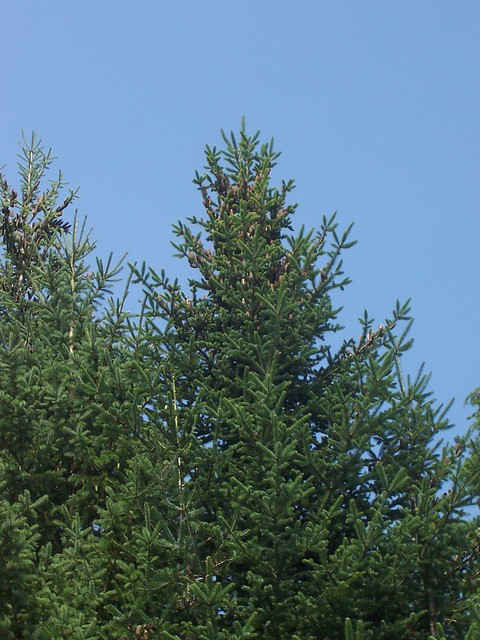Maine Pine Trees Flickr Photo Sharing