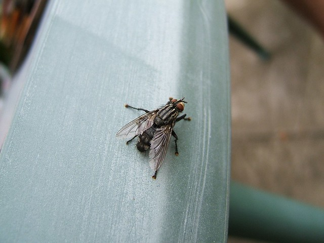 Testing out Macro on a Housefly