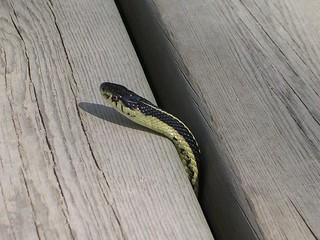 Garter Snake at Narcisse