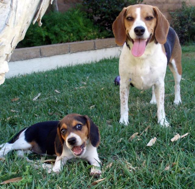 Barking Dog Sounds Crossword Clue