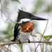 Amazon Kingfisher - Photo (c) Lip Kee Yap, some rights reserved (CC BY-SA)