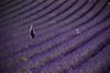 Girl 'n lavender fields by Daniel Drumond