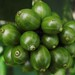 1501. Coffee Beans of Wynad, Kerala by profmpc