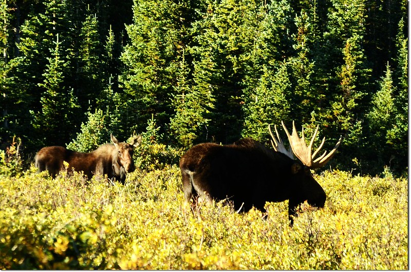 Moose at Brainard Lake (53)