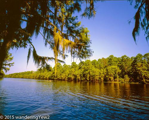 statepark 120 mamiya film mediumformat texas bayou cypress 6x7 filmscan caddolake easttexas mamiya7ii 43mm swampcypress caddolakestatepark bigcypressbayou