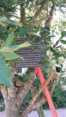 Poetry hanging from a laburnum tree