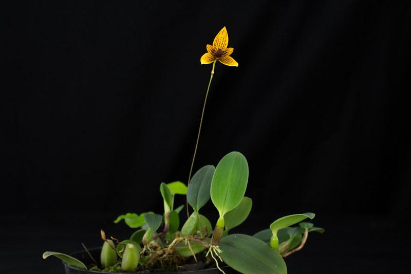 Bulbophyllum pardalotum 22973360369_154c913db7_c
