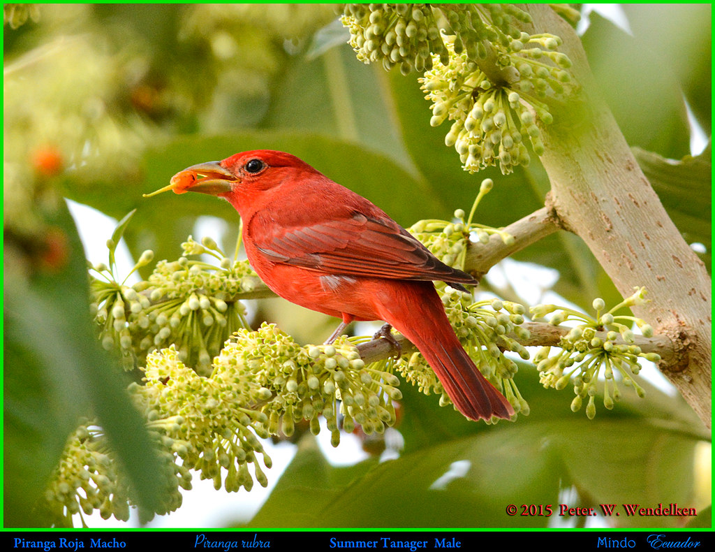SUMMER TANAGER MALE Piranga rubra Eating a Pico Pico Fruit in a Pico Pico Tree in Mindo in Northwestern ECUADOR. Tanager Photo by Peter Wendelken.