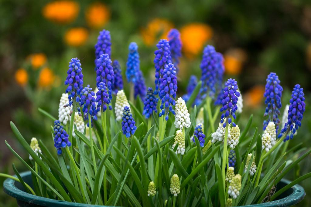 Bowl of Grapes (Hyacinth)
