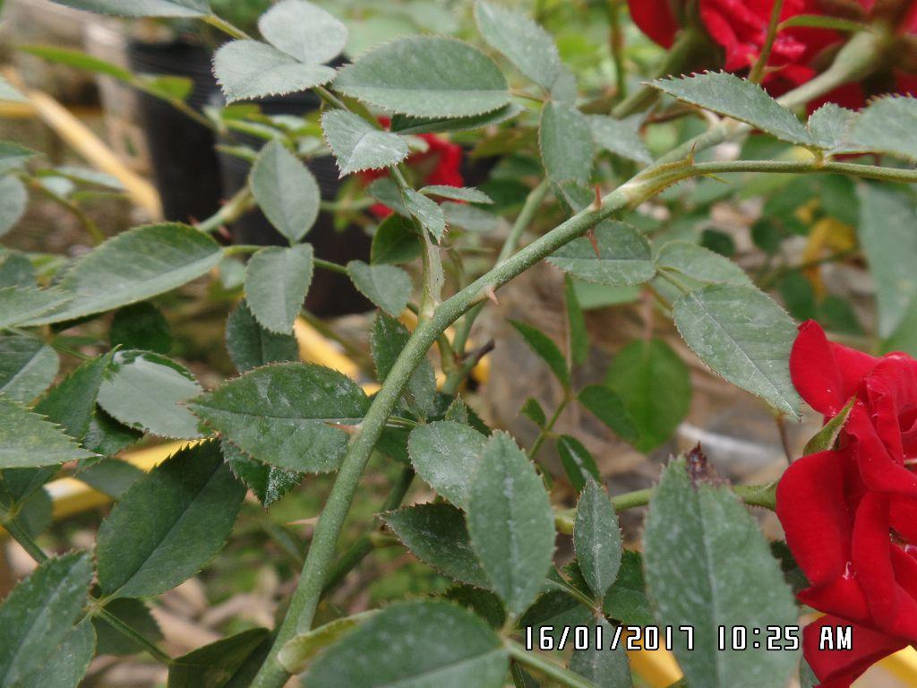 Thân hồng tiểu muội đỏ có ít gai