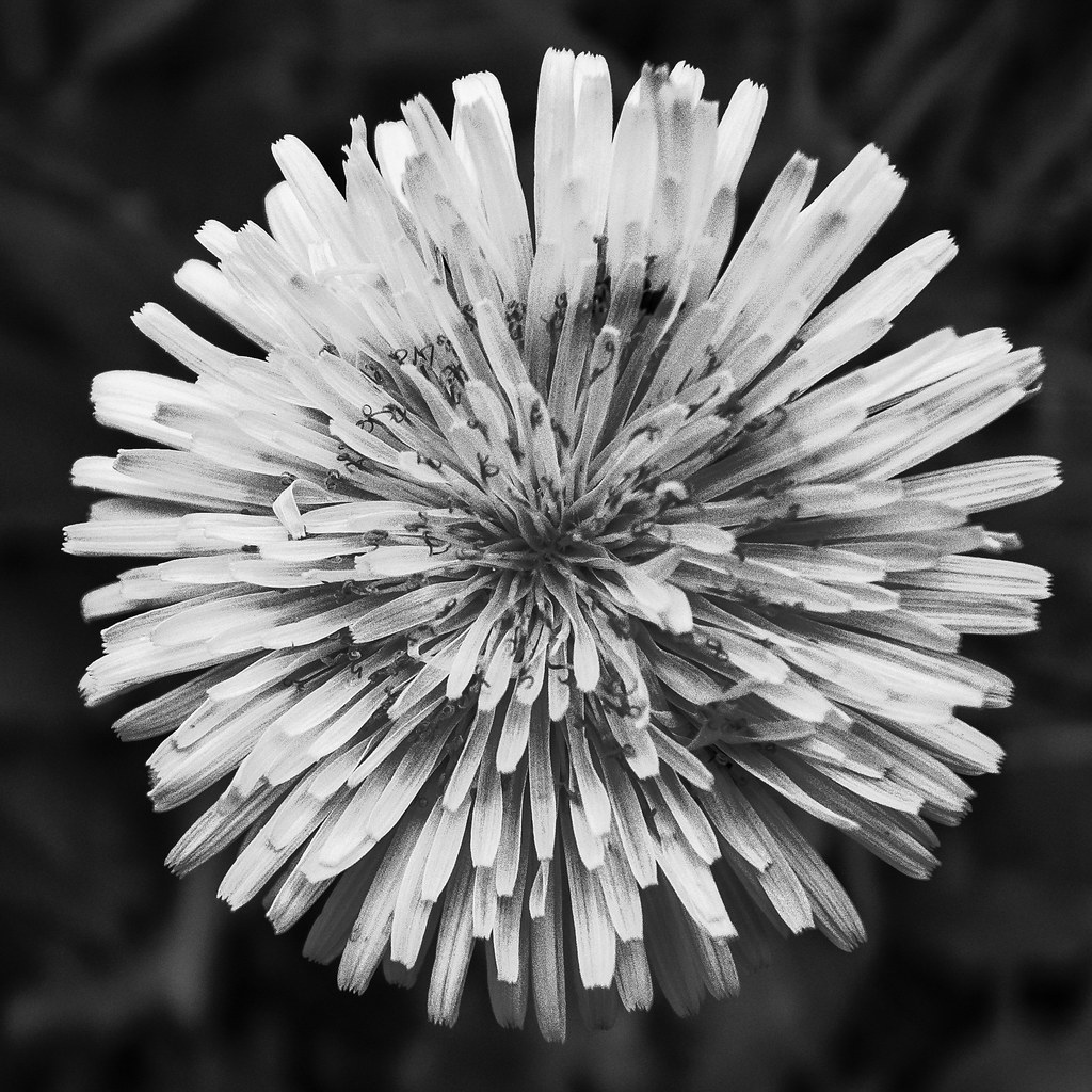 Flower in B&W