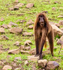 Baboon at Fiche