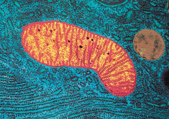 1069280_cell-mitochondrion-micrograph-15