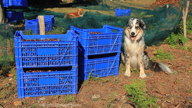 Harvesting chestnuts · Récolte des châtaignes · Kastanienlese 2013 X