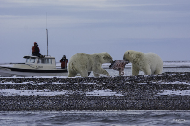 two polar bears eating whale meat