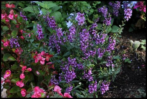 Angelonia angustifolia 22358987290_8fb02280a6