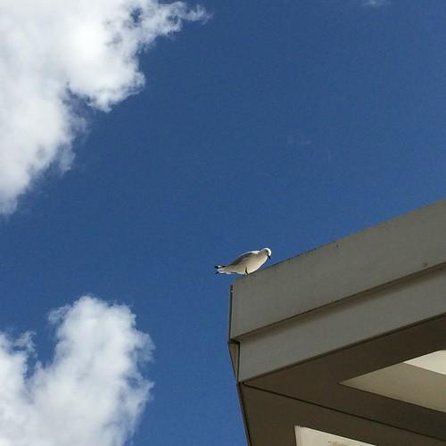 Seagull over AGWA