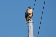 Eastern Buzzard (Buteo japonicus) on the pole