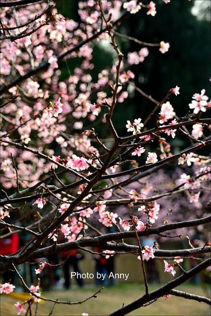 麗池櫻花39