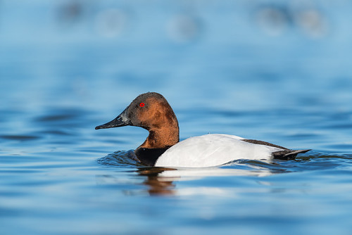 cambridge duck wildlife oakleystreet aythyavalisineria bird waterfowl choptankriver canvasback drake nature maryland unitedstates us nikon d800e phillymanpete