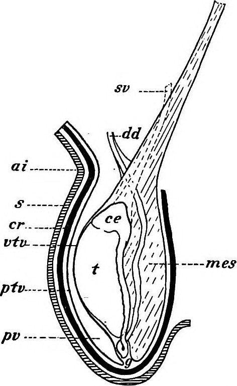 Image From Page 103 Of Practical Anatomy Of The Rabbit
