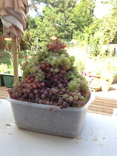 The bulk of the grape harvest 2015: 39 pounds from one vine.